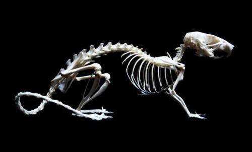 Строение скелета мыши