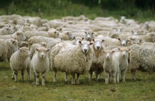 Исчезновение овец в Норвегии