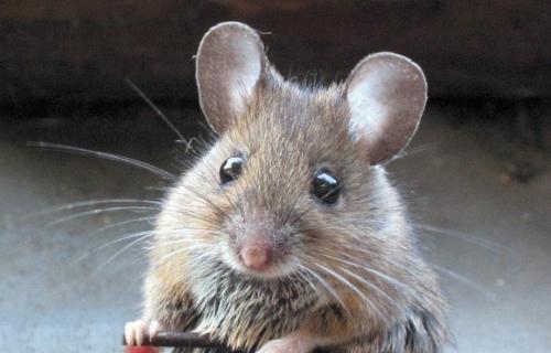 Эволюция мышей