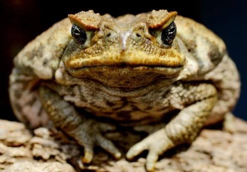 Эволюция жабы Ага