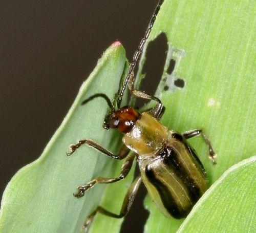 Эволюция жука кукурузного западного