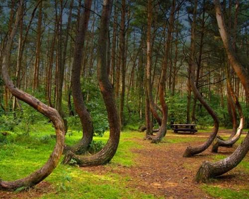 Изогнутые деревья в Польше